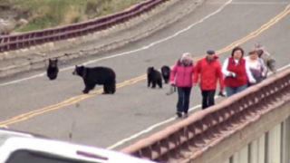 Des touristes s'approchent trop près d'une famille d'ours