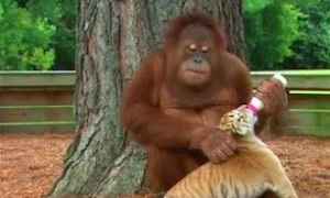 Un orang-outan nourrit des bébés tigres